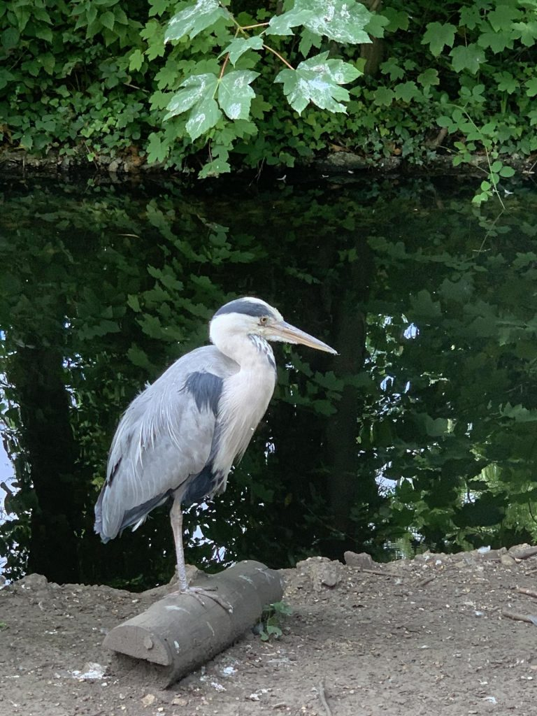 Chiswick House Grounds - Heron